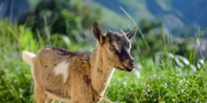 Give a Goat: A request from Pastor Derson